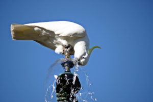 parrot-drinking-fountain-water-5